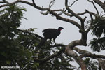 Crested Guan (Penelope purpurascens) [costa_rica_la_selva_0230]