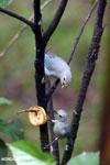 Blue-grey Tanager (Thraupis episcopus) [costa_rica_la_selva_0231]