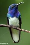 Hummingbird [costa_rica_la_selva_0240]