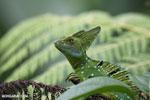Green basilisk [costa_rica_la_selva_0253]