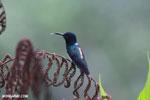 Hummingbird [costa_rica_la_selva_0257]