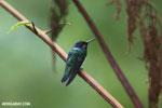 Hummingbird [costa_rica_la_selva_0265]