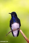 Hummingbird [costa_rica_la_selva_0271]