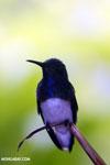 Hummingbird [costa_rica_la_selva_0273]