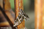 Moth [costa_rica_la_selva_0283]