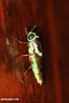 Insect [costa_rica_la_selva_0296]