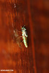 Insect [costa_rica_la_selva_0297]