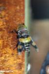 Insect [costa_rica_la_selva_0298]
