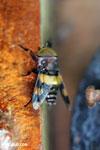 Insect [costa_rica_la_selva_0299]