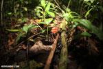 Red cup mushroom [costa_rica_la_selva_0309]