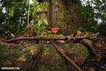 Red cup mushroom (Cookeina speciosa) [costa_rica_la_selva_0311]