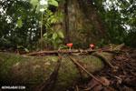 Red cup mushroom (Cookeina speciosa) [costa_rica_la_selva_0312]