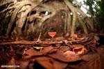 Red cup mushroom (Cookeina speciosa) [costa_rica_la_selva_0315]
