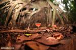Red cup mushroom (Cookeina speciosa) [costa_rica_la_selva_0316]