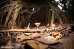 Red cup mushroom (Cookeina speciosa) [costa_rica_la_selva_0317]