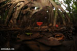 Red cup mushroom (Cookeina speciosa) [costa_rica_la_selva_0320]