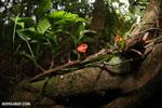 Red cup mushroom (Cookeina speciosa) [costa_rica_la_selva_0321]