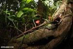 Red cup mushroom (Cookeina speciosa) [costa_rica_la_selva_0322]