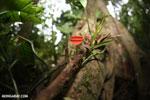 Red cup mushroom (Cookeina speciosa) [costa_rica_la_selva_0323]