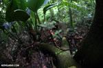 Red cup mushroom (Cookeina speciosa) [costa_rica_la_selva_0332]