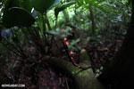 Red cup mushroom (Cookeina speciosa) [costa_rica_la_selva_0333]