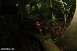 Red cup mushroom (Cookeina speciosa) [costa_rica_la_selva_0334]