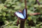 Blue morpho butterfly [costa_rica_la_selva_0343]