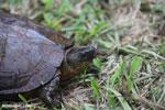 Turtle [costa_rica_la_selva_0346]