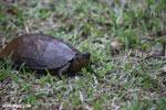 Turtle [costa_rica_la_selva_0347]