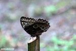 Blue morpho butterfly [costa_rica_la_selva_0349]