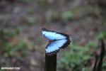 Blue morpho butterfly [costa_rica_la_selva_0356]