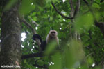 White-Faced Capuchin Monkey (Cebus capucinus) [costa_rica_la_selva_0361]