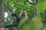 White-Faced Capuchin Monkey (Cebus capucinus) [costa_rica_la_selva_0362]