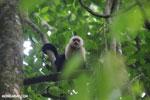 White-Faced Capuchin Monkey (Cebus capucinus) [costa_rica_la_selva_0363]