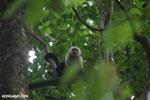 White-Faced Capuchin Monkey (Cebus capucinus) [costa_rica_la_selva_0364]