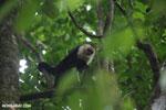 White-Faced Capuchin Monkey (Cebus capucinus) [costa_rica_la_selva_0367]