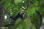 White-Faced Capuchin Monkey (Cebus capucinus) [costa_rica_la_selva_0368]