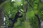 White-Faced Capuchin Monkey (Cebus capucinus) [costa_rica_la_selva_0370]