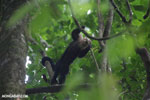 White-Faced Capuchin Monkey (Cebus capucinus) [costa_rica_la_selva_0373]
