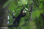 White-Faced Capuchin Monkey (Cebus capucinus) [costa_rica_la_selva_0375]