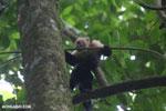 White-Faced Capuchin Monkey (Cebus capucinus) [costa_rica_la_selva_0378]