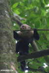 White-Faced Capuchin Monkey (Cebus capucinus) [costa_rica_la_selva_0380]