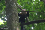 White-Faced Capuchin Monkey (Cebus capucinus) [costa_rica_la_selva_0381]