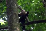 White-Faced Capuchin Monkey (Cebus capucinus) [costa_rica_la_selva_0383]