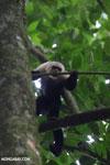 White-Faced Capuchin Monkey (Cebus capucinus) [costa_rica_la_selva_0384]