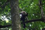 White-Faced Capuchin Monkey (Cebus capucinus) [costa_rica_la_selva_0385]