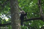 White-Faced Capuchin Monkey (Cebus capucinus) [costa_rica_la_selva_0386]