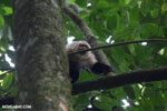 White-Faced Capuchin Monkey (Cebus capucinus) [costa_rica_la_selva_0387]