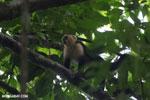White-Faced Capuchin Monkey (Cebus capucinus) [costa_rica_la_selva_0388]