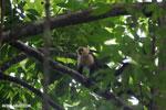 White-Faced Capuchin Monkey (Cebus capucinus) [costa_rica_la_selva_0389]